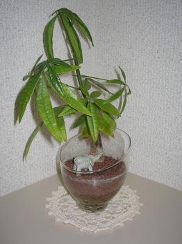 8観葉植物(パキラ).jpg